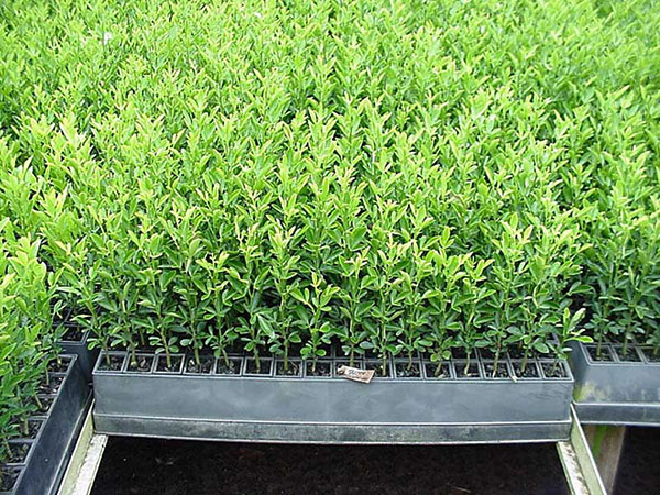 Zululand nurseries citrus and fruit trees for When to transplant lemon tree seedlings